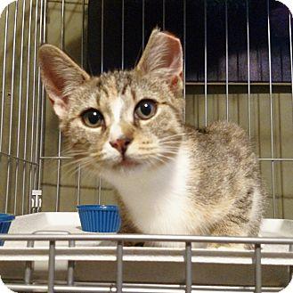 Domestic Shorthair Kitten for adoption in Brooklyn, New York - Andromeda