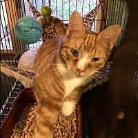 Domestic Shorthair Cat for adoption in Bedford Hills, New York - Rudy