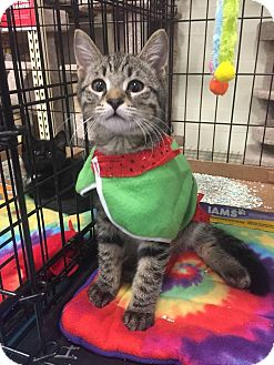 Domestic Shorthair Kitten for adoption in Gainesville, Florida - Carlos
