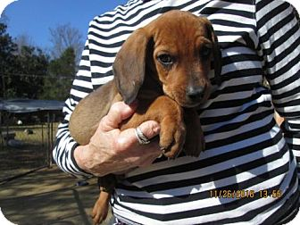 Beagle/Redbone Coonhound Mix Puppy for adoption in Rutherfordton, North Carolina - CLETUS