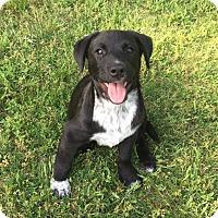 Adopt A Pet :: Nash - Boston, MA