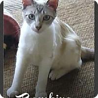 Adopt A Pet :: Bambino - Gilbert, AZ