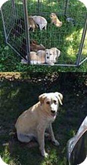 Golden Retriever/Labrador Retriever Mix Puppy for adoption in Chantilly, Virginia - Gold N Labs Pup 3