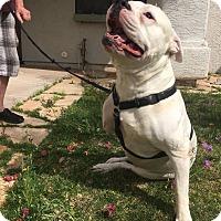 Adopt A Pet :: AXEL - 3 YR AMERICAN BULLDOG - Mesa, AZ