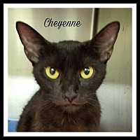 American Shorthair Cat for adoption in Gautier, Mississippi - Cheyene