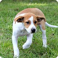 Adopt A Pet :: Tango Toes - Glastonbury, CT