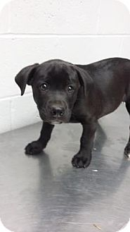 Staffordshire Bull Terrier Mix Puppy for adoption in Paducah, Kentucky - Grizzley