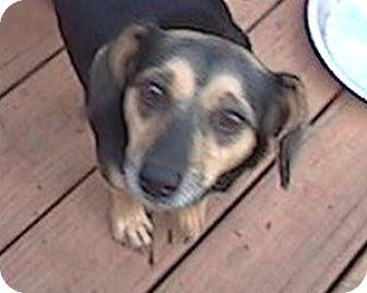 Chihuahua/Dachshund Mix Dog for adoption in Anderson, South Carolina - Gus