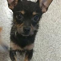 Adopt A Pet :: Pika - La Puente, CA