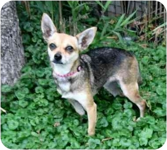 Chihuahua Dog for adoption in Ile-Perrot, Quebec - Serta