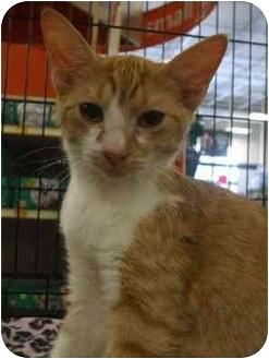 Domestic Shorthair Kitten for adoption in Orlando, Florida - Bruce