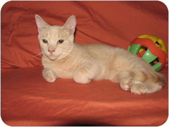 Domestic Shorthair Cat for adoption in Norwich, New York - DJ