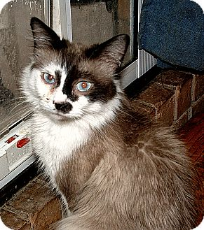 Snowshoe Cat for adoption in Whitney, Texas - Kirk