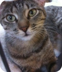 Domestic Shorthair Cat for adoption in Modesto, California - Ayla