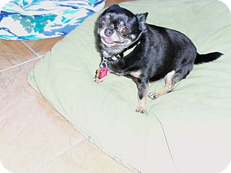 Chihuahua Dog for adoption in Berlin, Wisconsin - Tinky