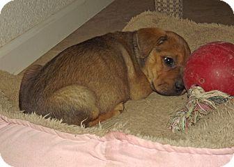 Shar Pei/Labrador Retriever Mix Puppy for adoption in Phoenix, Arizona - Cassie