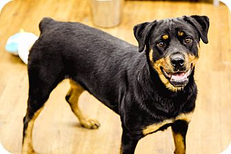 Rottweiler Mix Dog for adoption in Lake Odessa, Michigan - Betty