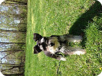 Miniature Schnauzer Dog for adoption in Centerpoint, Indiana - Maggie