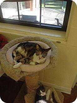 Domestic Shorthair Cat for adoption in Lake Charles, Louisiana - Camilla