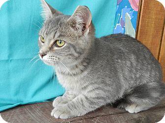 Domestic Shorthair Kitten for adoption in Lawrenceburg, Tennessee - Luke