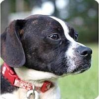 Adopt A Pet :: Roxy - Toronto/Etobicoke/GTA, ON