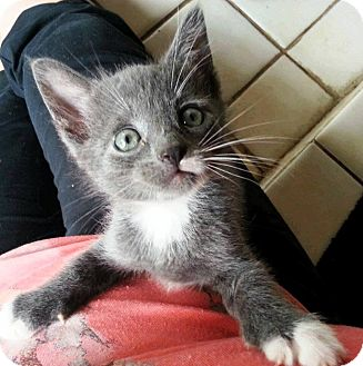 American Shorthair Kitten for adoption in Palatine, Illinois - Johnny