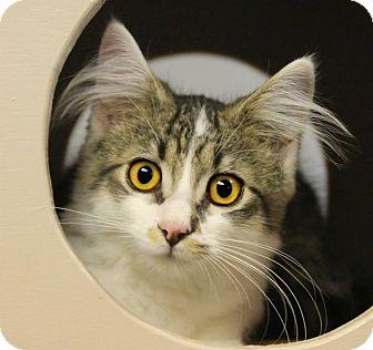 Domestic Shorthair Cat for adoption in Huntingdon, Pennsylvania - Georgie