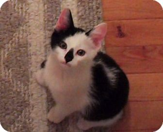 Domestic Shorthair Kitten for adoption in Sterling Hgts, Michigan - Pierre (dog friendly)