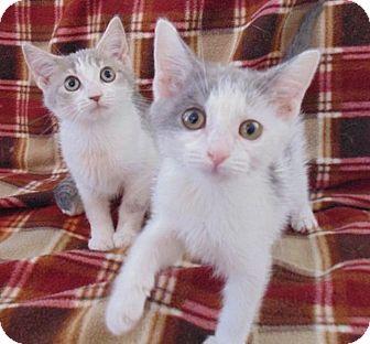 Domestic Shorthair Kitten for adoption in Huntsville, Alabama - Gabbana
