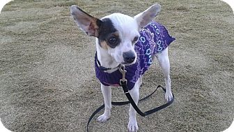 Chihuahua/Rat Terrier Mix Dog for adoption in Las Vegas, Nevada - Lulu