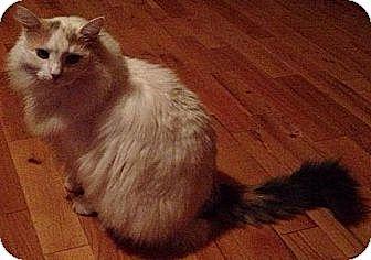 Maine Coon Cat for adoption in Ridgewood, New York - JULIET