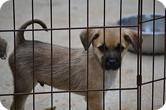 Terrier (Unknown Type, Small) Mix Puppy for adoption in Pikeville, Maryland - Trooper