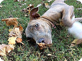 Weimaraner/Labrador Retriever Mix Puppy for adoption in KITTERY, Maine - GRACIE