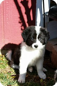 Border Collie/Great Pyrenees Mix Puppy for adoption in Allen, Texas - Blitzen