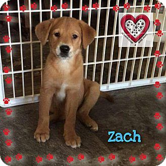 Boston Terrier/Plott Hound Mix Puppy for adoption in Elgin, Illinois - Zach