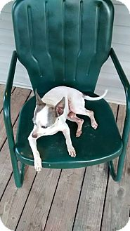 Chihuahua Mix Dog for adoption in Blountstown, Florida - Rocky