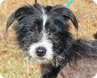 Chinese Crested/Terrier (Unknown Type, Small) Mix Dog for adoption in Williamsport, Maryland - Bo (21 lb) Perfect Family Pet!
