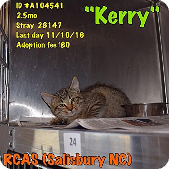 Domestic Shorthair Kitten for adoption in Salisbury, North Carolina - Kerry