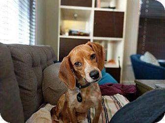 Beagle Mix Dog for adoption in Eden Prairie, Minnesota - Trudy