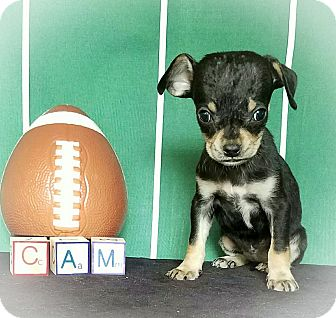 Dachshund/Chihuahua Mix Puppy for adoption in Middletown, Virginia - Cam