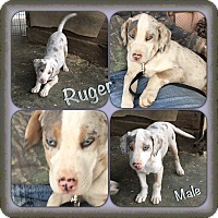 Adopt A Pet :: Ruger pending adoption - Manchester, CT