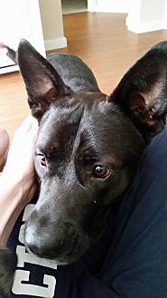 Pit Bull Terrier/German Shepherd Dog Mix Dog for adoption in Fulton, Missouri - Grimm - Texas