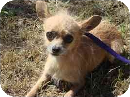 Chihuahua Mix Dog for adoption in Brenham, Texas - Clifford