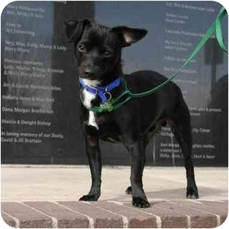 Chihuahua Mix Puppy for adoption in Denver, Colorado - Scotty