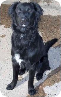 Labrador Retriever Mix Puppy for adoption in Evergreen, Colorado - Don Juan