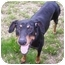Photo 1 - Doberman Pinscher Dog for adoption in Arlington, Virginia - Shane