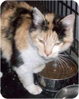 Calico Cat for adoption in Goodland, Kansas - P2