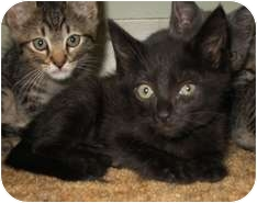 Domestic Shorthair Kitten for adoption in Shelton, Washington - Ebony