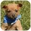 Photo 2 - Labrador Retriever/Husky Mix Puppy for adoption in Cranford, New Jersey - Jesse