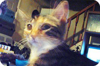 Domestic Shorthair Kitten for adoption in Hampton, Connecticut - Frieda